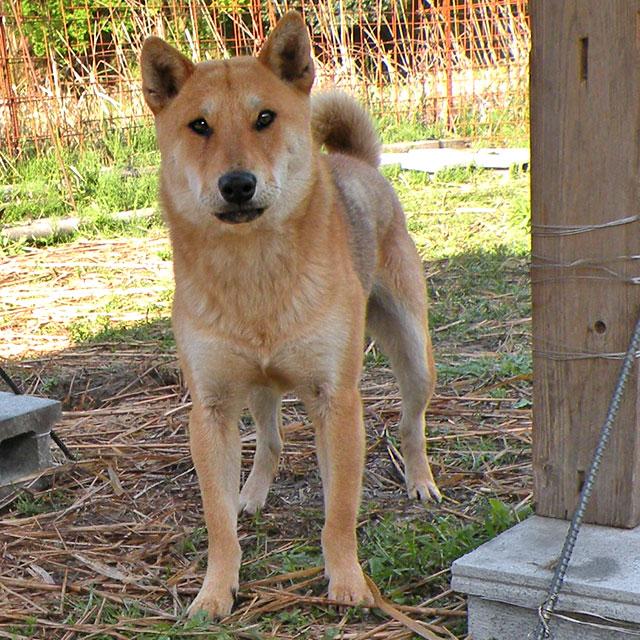管理人保護犬ゴン