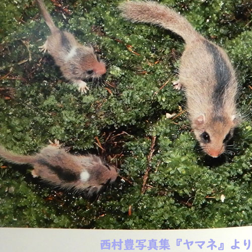 西村豊写真集『ヤマネ』