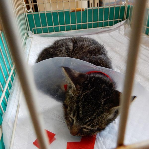 3本足の子猫、虎太郎