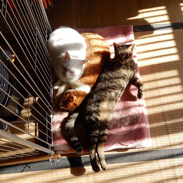 3本足の子猫、虎太郎と先住猫達